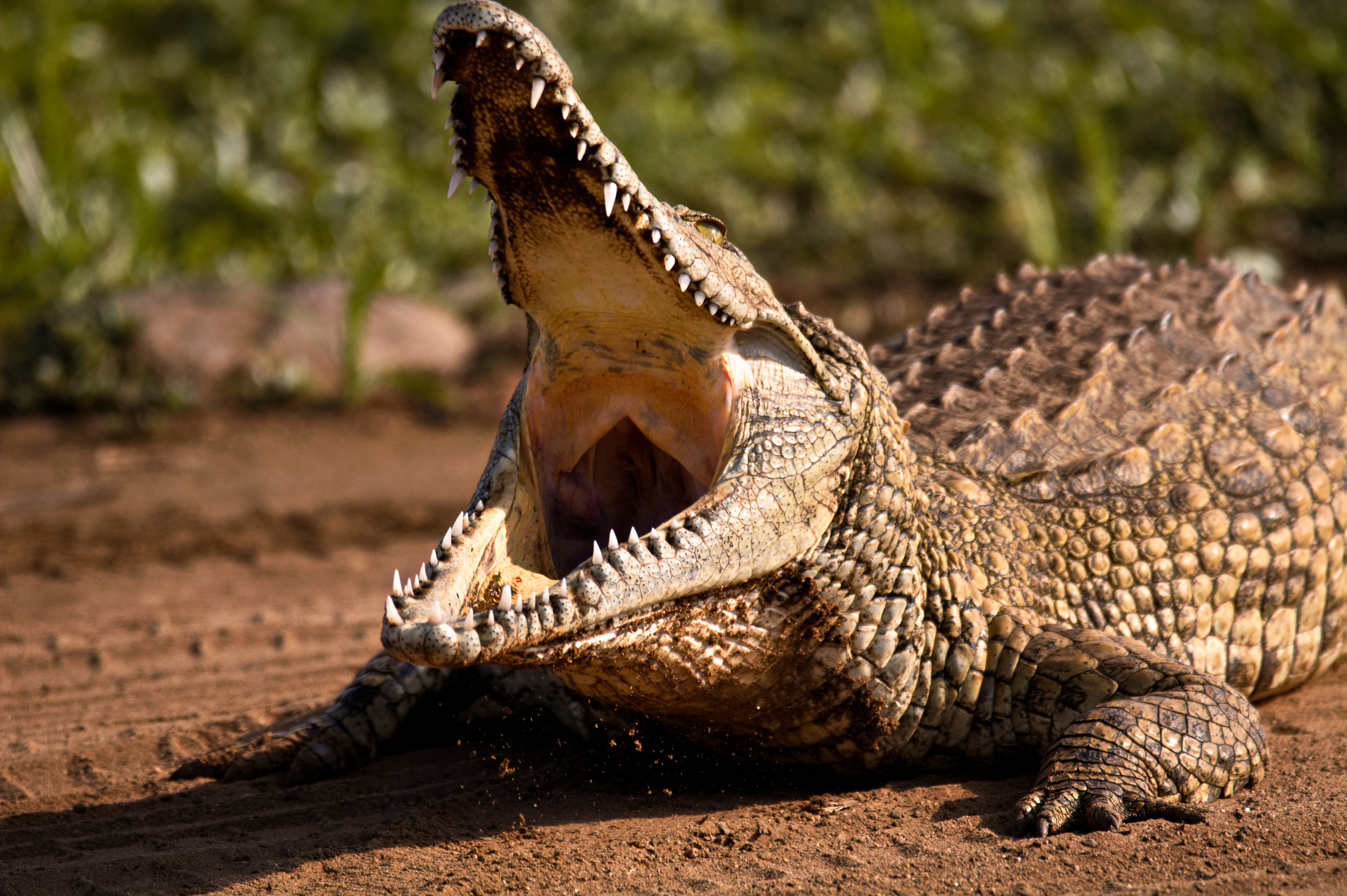 South African Woman Dies After Crocodile Attacked Her While She ...